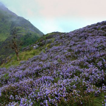 Neelakurinji Flower Blooming