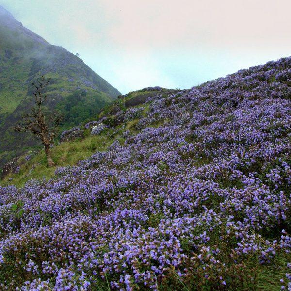 A Trip To Munnar- Exploring Neelakurinji Blooms