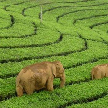 Thekkady and Munnar – Tea & Wildlife Tour Package