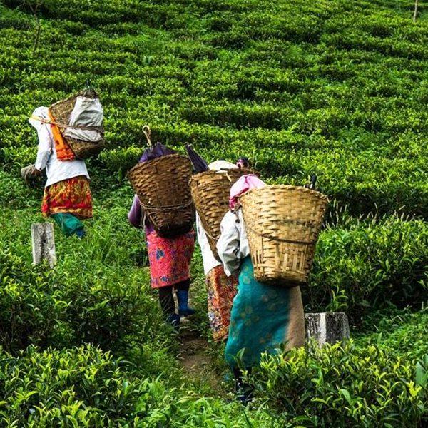 Tea Estate Garden